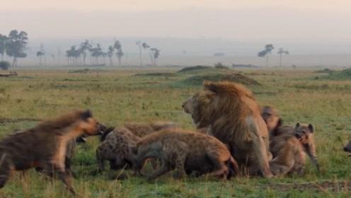 流浪狮王遭遇十几只鬣狗群,到底谁更厉害,这场大战为您揭晓答案