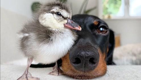 老外将鸭子放在狗狗面前,它什么反应?网友:闻到了恋爱的气息