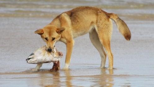 被动物占领的澳大利亚,又迎来新物种,这次却混成了保护动物!