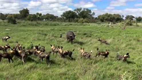 小野牛遭野狗群围攻,野牛妈妈想救救不了,看的好心酸