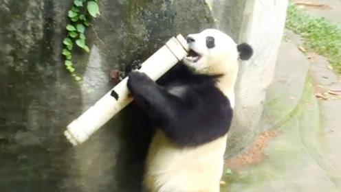 大熊猫被水管给砸蒙,这把大熊猫气坏了,下一秒千万不要笑!