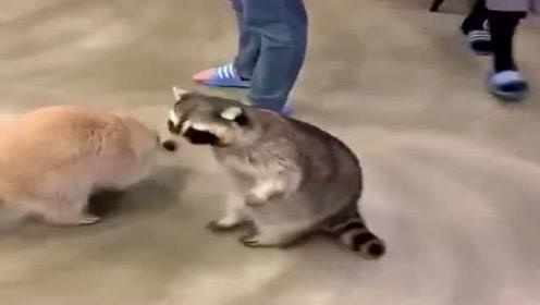 为了讨到零食,小浣熊放大招了,这么可爱想不给都难!