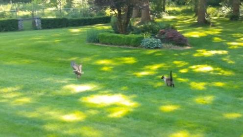 猫头鹰从天而降,带走被猫咪放生的兔子,猫:白天不睡觉抢东西?