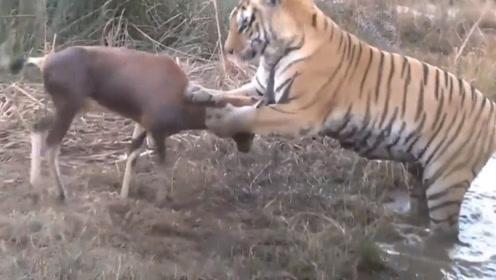 看看老虎有多厉害,双爪一按再咬一口就撂倒一头羊,整个过程干净利落