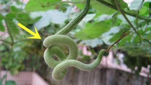 长在农村的一种怪瓜,像蛇一样挂在那,看着都瘆得慌!