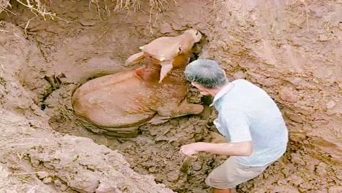 小牛出门觅食不小心掉坑里了,后腿也摔断了,看着真可怜啊!