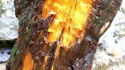 金丝楠木到底有什么神奇之处?竟然比黄金都值钱?切开后才明白真值得!