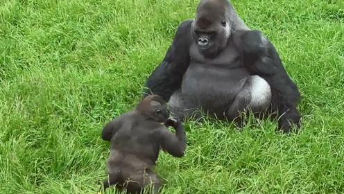 大猩猩有个坑爹儿子,整天莫名其妙捉弄爸爸,猩爸爸简直满脸无奈