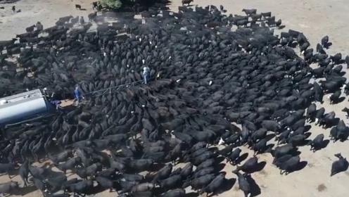 草原出现严重旱情,爱心人士每天开水车送水,上千只野牛排队喝水
