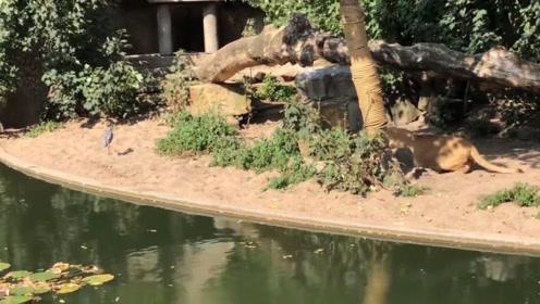 悠闲的白鹭在狮子领地吃着鱼,刚一回头就看见狮子,一切都晚了