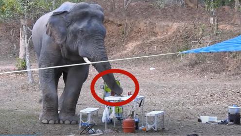 野生大象闯进野餐现场,卷起一瓶烈酒就喝,接下来的举动太搞笑了