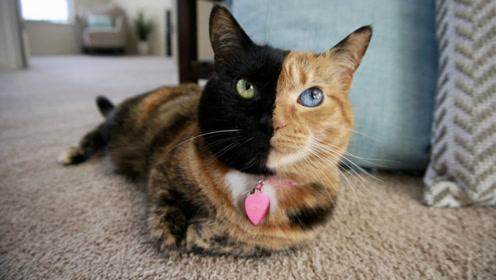 """这只猫咪被全网追捧,只因长相特殊,被称为""""阴阳猫"""""""