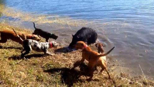 野猪失足掉进河里,岸上一群猎犬将它包围,为了保命不得不这样做