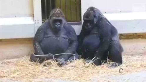 公猩猩太孤单了,饲养员给它找了只母猩猩,结果就不淡定了