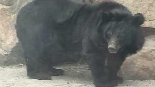 """25头熊被""""活取胆汁"""",获救1年后9头迁居新家,仍胆小怕人"""
