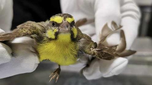 饼干盒扎孔藏了77只黄额丝雀,男子入境深圳被查