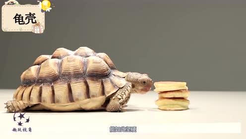 龟壳内部构造长啥样?老外用水刀切开后,总算是长见识了