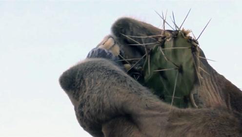 饿坏了!一口一个带刺仙人掌,镜头记录下全过程