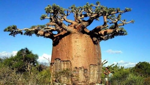 非洲这种树能储水2吨,一家四口饮用半年都用不完!
