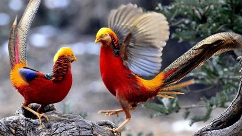 美国的是鹰,韩国的是鹊,中国的国鸟却没有一个人知道!