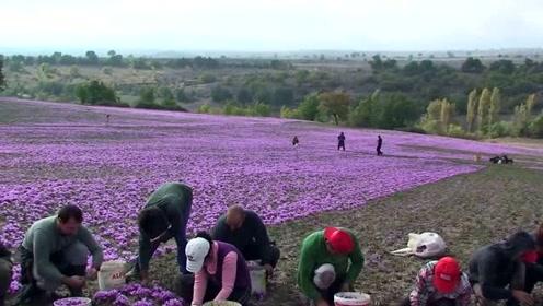 伺候藏红花的工人,蹲着干活一天200,就是有点累腰