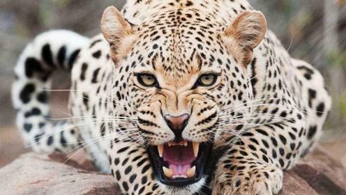 狂妄的鬣狗挑衅猎豹,猎豹忍无可忍,决定出击