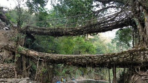 世界上最特殊的桥梁,印度人用树种出来,已经使用500余年!