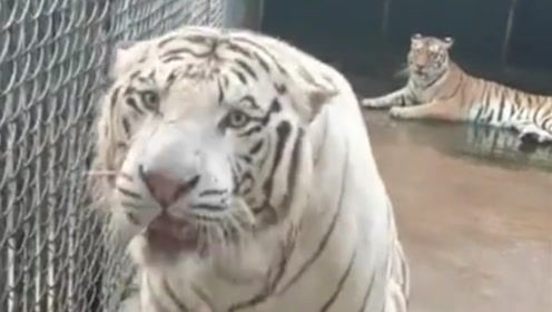 最配合饲养员的老虎,听到饲养员说这句话,立马怂的不行!