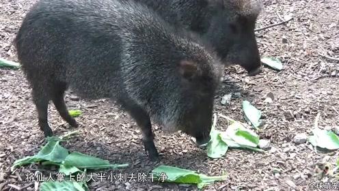 草原西貒:曾被认为灭绝却再次出现,靠吃仙人掌活下来
