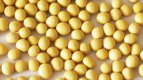 常吃黄豆易得高尿酸血症和痛风,嘌呤物质高