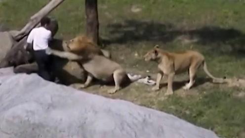 男子掉进狮子园中,接下来男子的做法,堪称教科书级别的