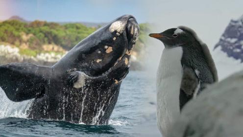【饭制】七个世界一个星球:豹型海豹与小企鹅虐恋情深,看完我酸了