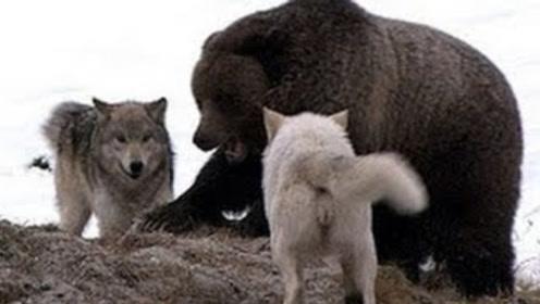 这才是棕熊的实力!以1敌3大战野狼,凶残的一面让野狼胆寒