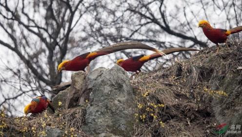 河南深山中现数千只金鸡,飞动时犹如火凤凰,被认为是国鸟首选
