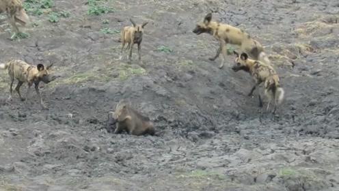 疣猪主动挑衅野狗,下一秒让野狗群傻眼,镜头记录全过程