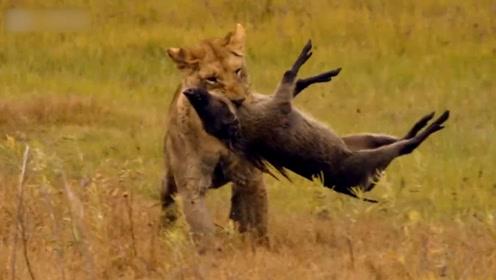 这群疣猪太倒霉了,刚准备挖掘洞穴,就被狮子给盯上了