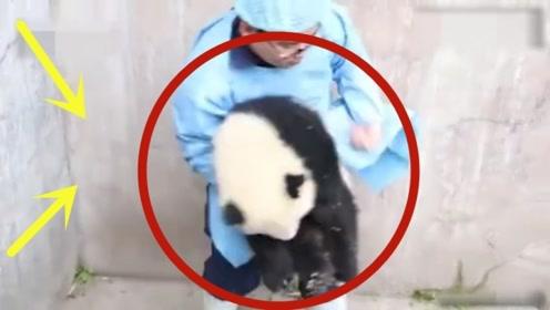 小熊猫闷闷不乐,饲养员上前一招,就把熊猫收入囊中!