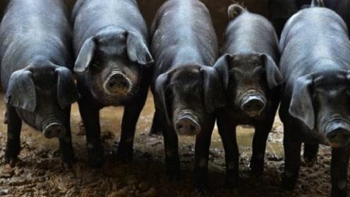农民养猪历史几千年,为何农村环境没有污染依然那么美?