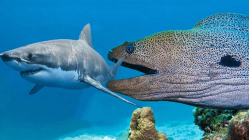 电鳗偷袭鲨鱼,本以为会是一场大战,怎料一招就凉了