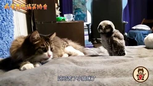 当猫咪遇到刚满月的猫头鹰宝宝,猫:我太难了