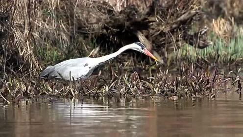 这只水鸟完全具备钓鱼人的气质,静静的等待,一击奏效
