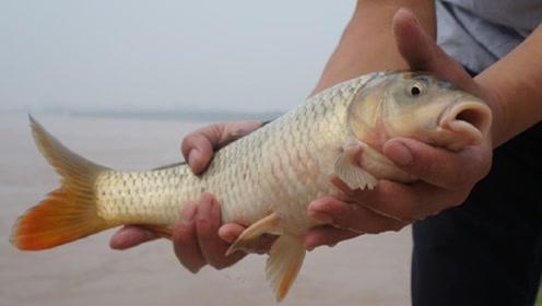 黄河水那么浑浊,为什么还会有鲤鱼?看完大开眼界