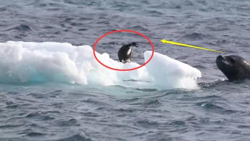小企鹅被困在海里的浮冰上,不幸被海豹发现,没想到却因祸得福