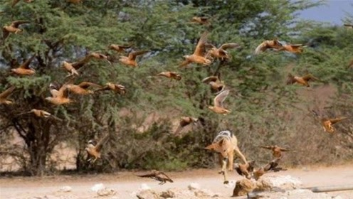 英国又一动物泛滥成灾,当地人都发愁,捕杀一只可获得奖金200元
