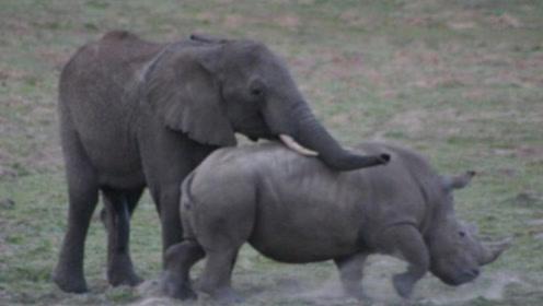 4吨重的犀牛大战大象,难得一见的场景,镜头拍下激烈过程