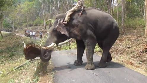 粗壮的大树横断在公路上,一只大象的做法,真的是太霸气了