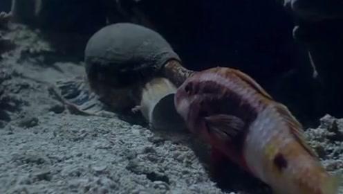 深海的睡梦杀手,专门捕食打瞌睡的鱼儿,镜头记录全过程