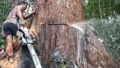 """大自然的""""眼泪"""",百年大树被一刀切断,止不住的从伤口喷水!"""