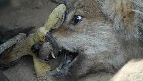 狼族的天敌,光听到名字就让凶狠无畏的狼闻风丧胆,专门吃狼