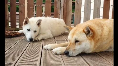 趣味萌宠:可爱狗狗在院子里玩耍